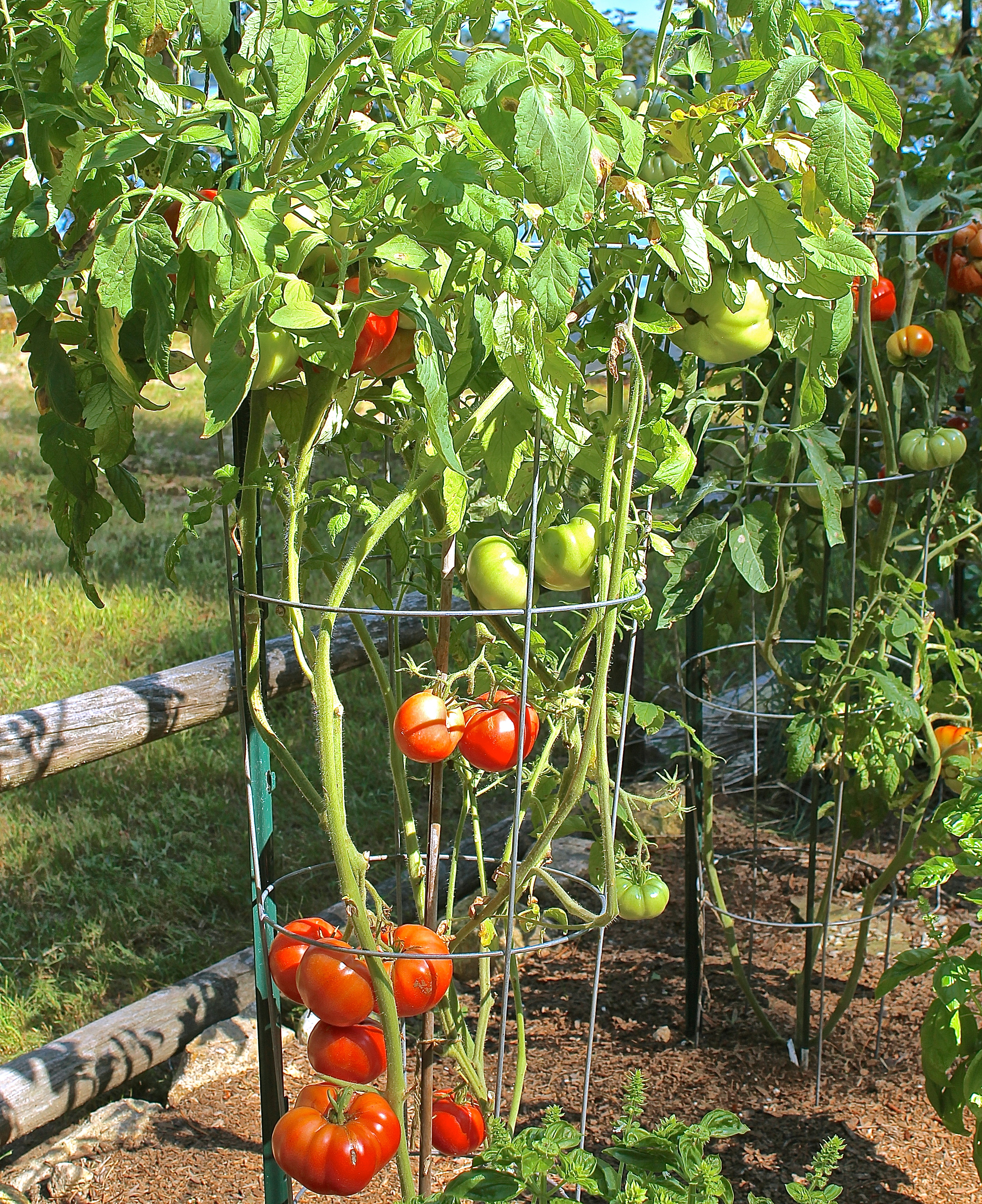 Planters And Pots Sachriya Tomato Seeds Greenmylife Anyone Can Garden