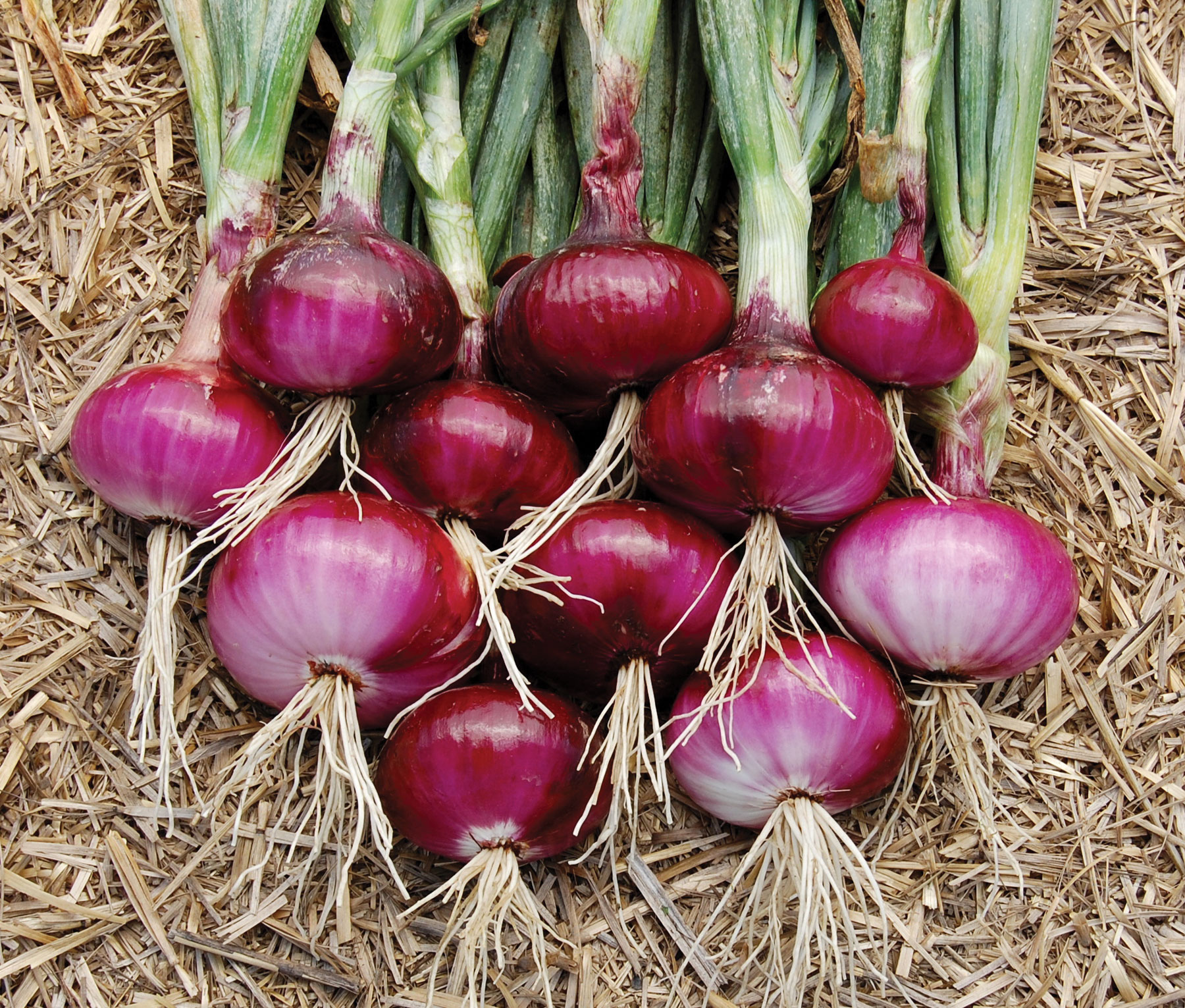 onion nasik red seeds greenmylife anyone can garden